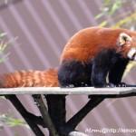 C'est un panda servi sur un plateau, mais il part vite se recacher! (Branféré, avril 2015)