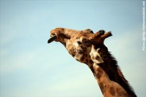 -girafe- (Zoo de la Flèche, aout 2017)