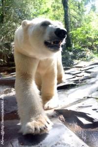-ours polaire- (Zoo de la Flèche, aout 2017)
