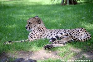 -guépard- (Zoo de la Flèche, août 2017)
