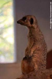 -suricate- (Zoo de la Flèche, août 2017)