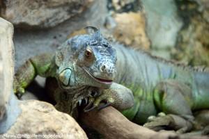 -iguane- (Zoo de la Flèche, août 2017)