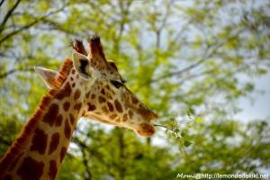 Girafe (Zoo de la Flèche, avril 2018)