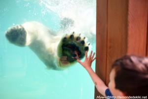 Le reflet du bonheur... Ours polaire (Zoo de la Flèche, avril 2018)