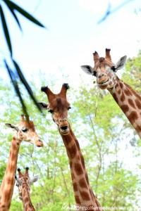 Les girafes font connaissance avec Kiki :D  (Zoo de la Flèche, avril 2018)