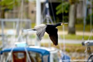 Cormoran, port de Vannes(semaine du golfe 2019)