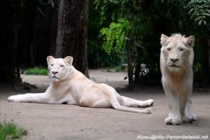 -lions blancs- (Zoo de la Flèche, aout 2017)