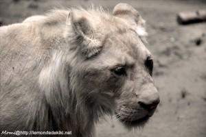 -lion blanc- (Zoo de la Flèche, aout 2017)