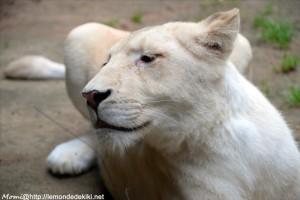 lionne blanche- (Zoo de la Flèche, aout 2017)