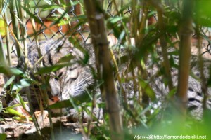 -chat pêcheur- (Zoo de la Flèche, aout 2017)