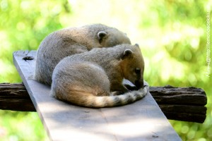 -coati- (Zoo de la Flèche, aout 2017)