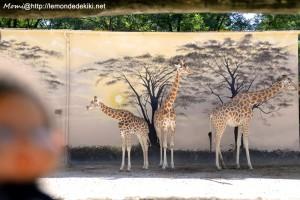-girafes- (Zoo de la Flèche, aout 2017)