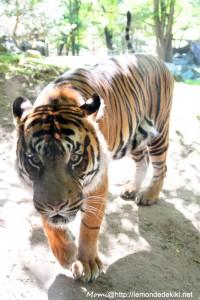 -tigre de Sumatra- (Zoo de la Flèche, aout 2017)