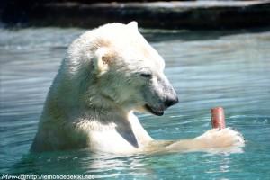 -ours polaire- OOOh, une glace! (Zoo de la Flèche, aout 2017)