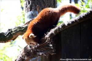-panda roux- (Zoo de la Flèche, août 2017)