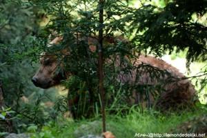 -ours grizzli- (Zoo de la Flèche, août 2017)