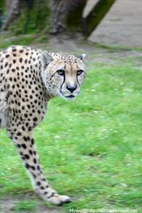 Guépard (Zoo de la Flèche, avril 2018)