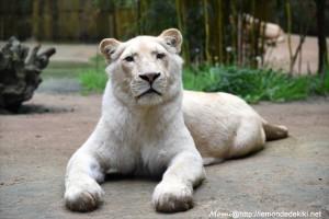 Lionne blanche (Zoo de la Flèche, avril 2018)
