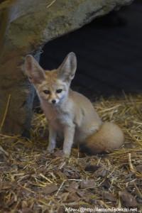 Fennec (Zoo de la Flèche, avril 2018)