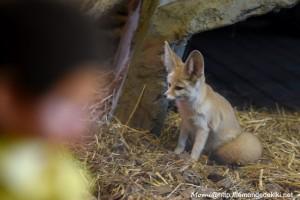 Un fennec voit un Kiki :D (Zoo de la Flèche, avril 2018)